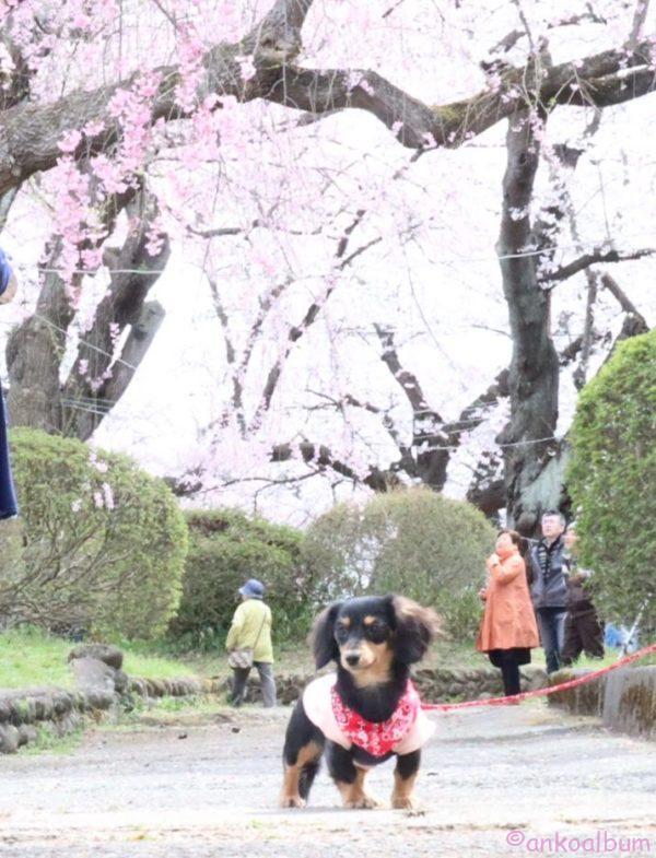 カニンヘンダックス お花見 桜