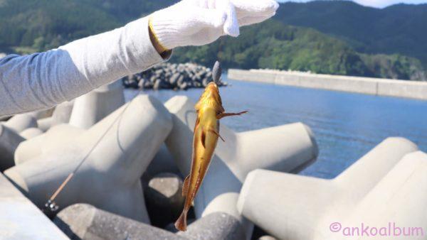 カニンヘンダックス 釣り アイナメ