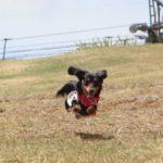 カニンヘンダックス飛行犬
