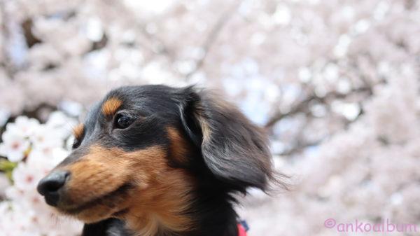 あんこと桜