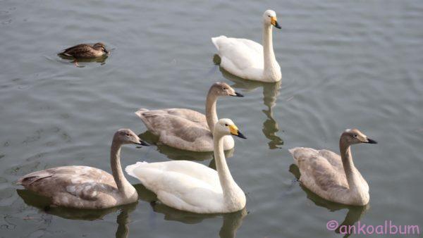 高松の池 白鳥