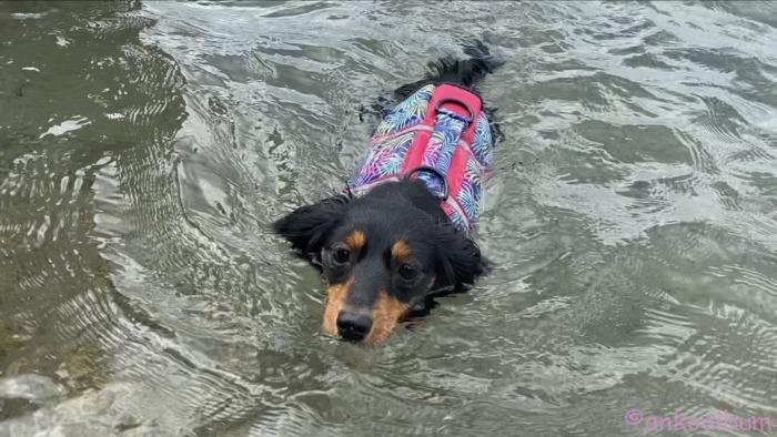 カニンヘンダックス泳ぐ