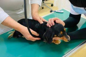 カニンヘンダックス 犬 胃腸炎