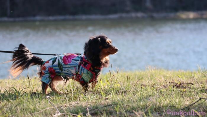 雫石川 犬の散歩